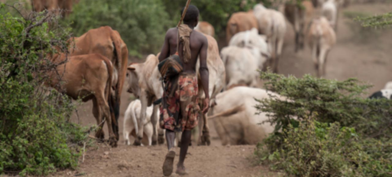 A herder grazing his cows in Isiolo County